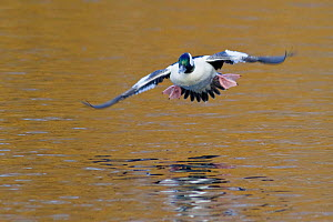 Bufflehead (Bucephala albeola) male coming in to land on water, Victoria, British Columbia, Canada.  -  Visuals Unlimited
