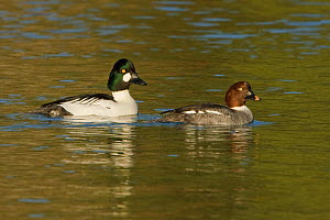 Goldeneye (Bucephala clangula) male and female swimming in a lagoon, Victoria, British Columbia, Canada. - Visuals Unlimited