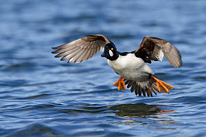 Goldeneye (Bucephala clangula) male coming into land on water, Victoria, British Columbia, Canada. - Visuals Unlimited