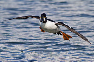 Goldeneye (Bucephala clangula) male drake coming into land on water, Victoria, British Columbia, Canada - Visuals Unlimited