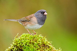 Dark Eyed Junco (Junco hyemalis) male perched on a rock, Victoria, British Columbia, Canada.  -  Visuals Unlimited