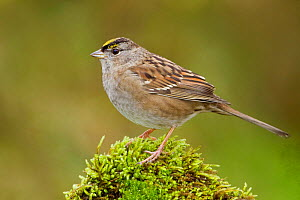 Golden crowned Sparrow (Zonotrichia atricapilla) perched on a rock, Victoria, British Columbia, Canada.  -  Visuals Unlimited