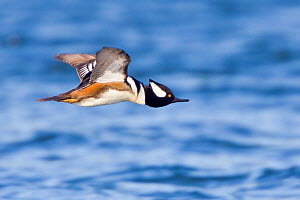 Hooded Merganser (Lophodytes cucullatus) flying, Victoria, British Columbia, Canada. - Visuals Unlimited