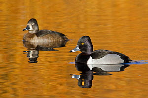 Ring necked Ducks (Aythya collaris) male and female swimming on a pond, Victoria, British Columbia, Canada.  -  Visuals Unlimited
