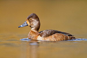 Ring necked Duck (Aythya collaris) female swimming on a pond near Victoria, British Columbia, Canada.  -  Visuals Unlimited