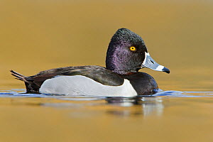 Ring necked Duck (Aythya collaris) male swimming on a pond, Victoria, British Columbia, Canada.  -  Visuals Unlimited