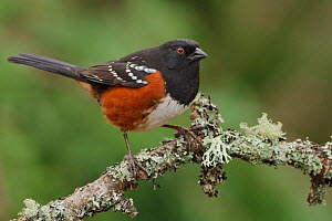 Spotted Towhee (Pipilo maculatus) perched on a branch, Victoria, British Columbia, Canada.  -  Visuals Unlimited