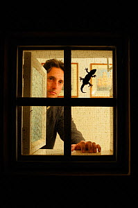 Moorish gecko (Tarentola mauritanica) are usual inhabitants of houses, silhouetted here on window frame with man watching from inside  -  Visuals Unlimited