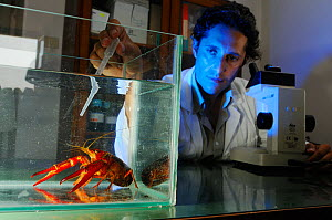 A scientist studying a Louisana Swamp Crayfish (Procambarus clarcki) in the laboratory, captive  -  Visuals Unlimited