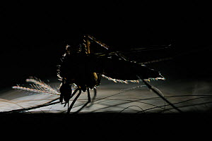 Mosquito (Culex pipiens) on skin in the early evening - Visuals Unlimited