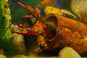 Louisiana Swamp Crayfish (Procambarus clarkii) hiding in a rusty can, an invasive species that can survive in highly polluted waters.  -  Visuals Unlimited