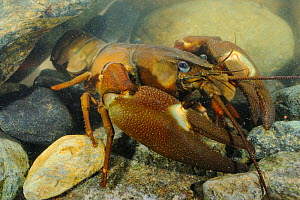 Signal Crayfish (Pacifastacus leniusculus) a species that has been introduced from the USA into Europe and Japan  -  Visuals Unlimited