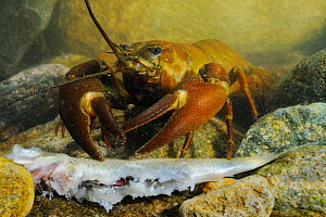Signal Crayfish (Pacifastacus leniusculus) a species that has been introduced from the USA into Europe and Japan, seen here feeding on a fish.  -  Visuals Unlimited