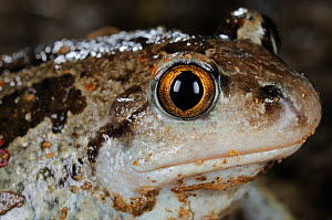 Common Spadefoot (Pelobates fuscus insubricus), one of the most threatened amphibians of Italy. - Visuals Unlimited