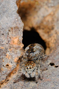 Jumping Spider (Philaeus chrysops) female next to nest hole, Italy. - Visuals Unlimited