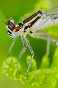 Dainty Damselfly (Coenagrion scitulum) close up of head, Italy - Visuals Unlimited