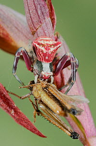 Pink Crab Spider (Thomisus onustus) on a Orchid (Serapias vomeracea) preying on a grasshopper, Italy.  -  Visuals Unlimited