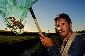 Louisiana Swamp Crayfish (Procambarus clarcki) captured in a net at dusk, Europe  -  Visuals Unlimited