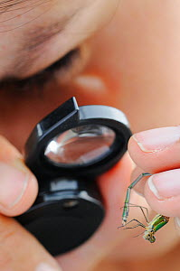 Scientist inspecting a Willow Emerald Damselfly with a magnifying glass (Lestes viridis), Europe  -  Visuals Unlimited
