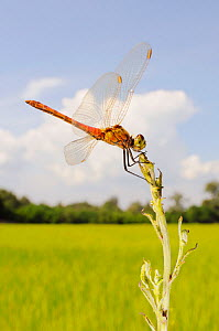 Spotted Darter (Sympetrum depressiusculum) male in a rice field, Italy.  -  Visuals Unlimited