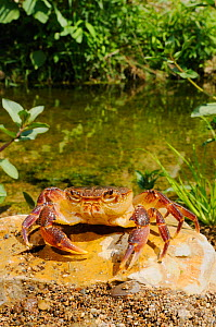 Freshwater Crab (Potamon fluviatile) in habitat, Italy  -  Visuals Unlimited