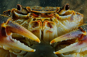 Freshwater Crab (Potamon fluviatile) close up portrait, Italy.  -  Visuals Unlimited