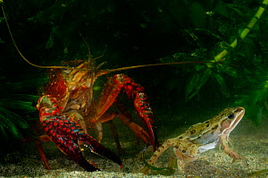 Louisiana Swamp Crayfish (Procambarus clarkii) preying on frog, captive sequence 2/2  -  Visuals Unlimited
