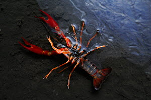 Louisiana Swamp Crayfish (Procambarus clarkii) even this strong species can be killed by metal polluted water, Europe  -  Visuals Unlimited