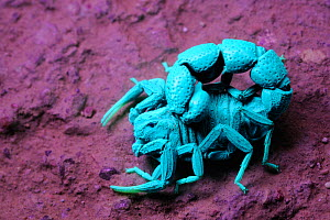 Scorpion  (Orthochirus bicolor) under UV light Socotra, Yemen. Compare with 1439021 for daylight image. - Visuals  Unlimited