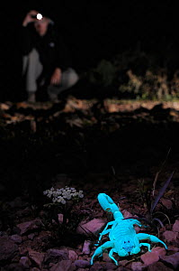 Scientist searching for Scorpions, night (Hottentotta socotrensis) with a UV light, Socotra, Yemen. Endemic. - Visuals  Unlimited
