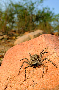 Giant Crab Spider (Olios giganteus) hunting prey, Socotra, Yemen.  -  Visuals Unlimited