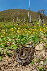 Western Whip Snake (Hierophis viridiflavus) basking in the spring sunlight, Italy. - Visuals Unlimited