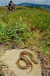 Three toed Skink (Chalcides chalcide) basking near a trail used by bikers, Italy.  -  Visuals Unlimited