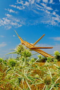 Nosed / Mediterranean Slant-faced Grasshopper (Acrida ungarica) in habitat, Italy.  -  Visuals Unlimited