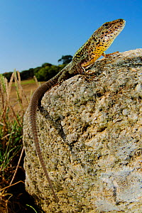 Bocage's wall Lizard (Podarci bocagei) male basking on a stone, Portugal.  -  Visuals Unlimited