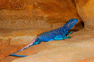 Anderson's rock agama (Acanthocercus adramitanus) male, Yemen. - Visuals  Unlimited