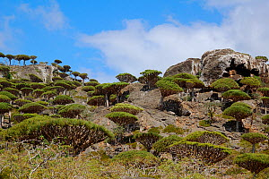 The Dragon Blood Tree forest (Dracaena cinnabari), Socotra, Yemen  -  Visuals Unlimited