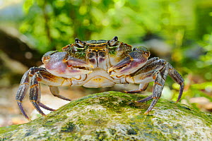 Freshwater Crab (Potamon fluviatile), Europe  -  Visuals Unlimited
