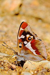Purple Emperor Butterfly (Apatura iris) sucking salts from the ground, Europe  -  Visuals Unlimited