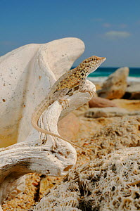 Abdel Kuri Rock Gecko (Pristurus abdelkuri) basking on marine fossils. Endemic to Socotra.  -  Visuals  Unlimited