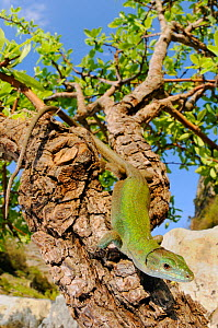 Italian Wall Lizard (Podarcis siculus) basking on a tree branch, Sicily, Italy.  -  Visuals Unlimited
