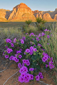 Four O'clock (Mirabilis multiflora) blooming with Mojave Yucca (Yucca schidigera), Red Rock Canyon National Conservation Area, Spring Mountains, Nevada, USA  -  Visuals Unlimited