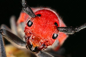 Eastern / Red Milkweed longhorn Beetle (Tetraopes tetraophthalmus) head portrait, USA - Visuals Unlimited