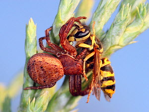 Crab Spider (Thomisidae) eating a Yellow Jacket hoverfly (Milesia crabroniformis) Europe - Visuals Unlimited