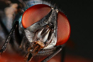 Bottlefly (Lucilia phaenicia) showing the mouth parts and compound eyes, captive - Visuals Unlimited