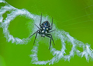 Spider on its web (Neogea nocticolor)  -  Visuals  Unlimited