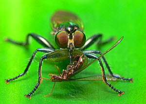 Robber Fly (Asilidae family) with pierced insect prey - Visuals Unlimited