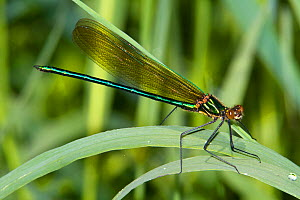 Male Superb Jewelwing Damselfly (Calopteryx amata) on grass. New Hampshire, USA - Visuals  Unlimited