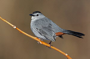 Grey Catbird (Dumetella carolinensis), New York, USA. - Visuals Unlimited