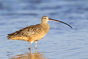 Long billed Curlew (Numenius americanus) standing in water, Florida, USA.  -  Visuals Unlimited